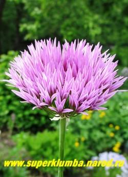 ЛУК ВИНКЛЕРА (Allium winklerianum) Декоративный лук с красивыми темносиреневыми цветами собранными в соцветия диаметром 5-7 см. Высота 40-80 см. Соцветия с изумительным ароматом французских духов замечательно стоят в срезке! Цветет в июне месяце. РЕДКОЕ! ЦЕНА 400 руб (1 лук)  НЕТ В ПРОДАЖЕ
