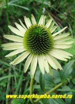 """Эхинацея """"ДЖЕЙД"""" (Echinacea """"Jade"""") Цветки с темно-зелёным центром и не поникающими зеленовато-белыми лепестками. Настоящий нефрит! Высота 60 см.  ЦЕНА 250 руб (делёнка)"""