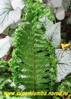 """Лист ЩИТОВНИКА МУЖСКОГО """"Криспа Кристата"""" (Dryopteris filix-mas """"Crispa Cristata"""") крупным планом. ЦЕНА 400 руб"""
