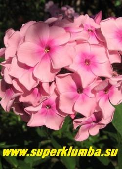 Флокс метельчатый МИЛЫЙ ДРУГ (Phlox paniculata Milyi drug) Константинова Е.А., 2002, С, 65/4,3. Телесно розовый цветок с размытым малиновым центром. Соцветие большое, округло-коническое, плотное. Куст прочный, компактный. Очень красивый. ЦЕНА 250 руб (1 шт). или 500 руб  (куст 3-4шт)