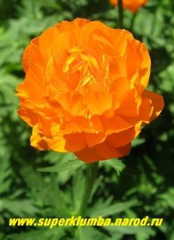 КУПАЛЬНИЦА АЗИАТСКАЯ или ЖАРКИ (Trollius asiaticus)  цветок крупным планом. Цветки крупные, шаровидные, диаметром до 5 см, чашелистики оранжево-красные. ЦЕНА 250 руб (делёнка)