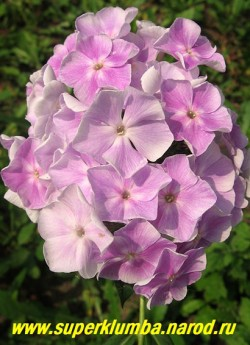 Флокс метельчатый РОССИЯНИН (Phlox paniculata Rossiyanin) Репрев, 1984, С, 70/4,0. Сиренево-голубой с небольшим белым центром, в процессе роспуска цветы светлеют. Соцветие большое, плотное. Куст прочный, мощный. Высокая оценка на выставках ЦЕНА 300 руб (1шт) или 600 руб (кустик: 3-4 шт)