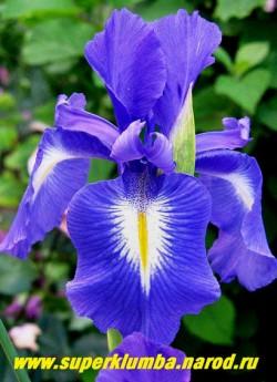"""КСИФИУМ АНГЛИЙСКИЙ """"Капитан Разин"""" (Xiphium latifolium) Луковичный ирис. Красивый синий цветок с белым пятном в основании нижних лепестков . Цветет в июле . Можно не выкапывать несколько лет. Высота 30-45см. Зимостоек.  ЦЕНА 150 руб (1 луковица)"""