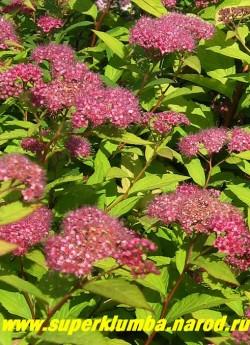 """на фото цветущая СПИРЕЯ ЯПОНСКАЯ """"Голд флейм"""" (Spiraea japonica ''Gold Flame'')  Цветки розово-красные собранные в сложные, щитковидно-метельчатые соцветия, завершающие однолетние побеги. Цветет с июля в течении 45-50 дней. Рекомендуется весенняя обрезка. ЦЕНА 400 руб"""