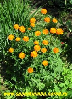 КУПАЛЬНИЦА АЗИАТСКАЯ или ЖАРКИ (Trollius asiaticus)  сказочно красивое растение, когда цветет кажется , что в саду горят яркие огоньки, высота до 60 см, цветет май-июнь в течение 20-30 дней, ЦЕНА 250 руб ((делёнка)