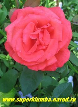 """Роза """"СУПЕР СТАР"""" Чайногибридная. Цветки махровые, 10-12 см, вначале бокаловидные, позднее раскрываются и становятся чашевидными. Цветки сочетают оттенки оранжевого, алого и кораллового. Листва крупная, блестящая темно-зеленая. НЕТ В ПРОДАЖЕ"""