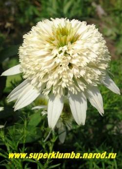 """Эхинацея """"МЕРЕНГИ"""" (Echinacea """"Meringue"""") Новая бордюрная эхинацея не превышающая 45 см в высоту с массой крупных белоснежных с махровыми помпонами цветов. Непрерывно цветет с июля до сентября. НОВИНКА! ЦЕНА 400 руб (делёнка)"""