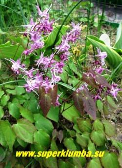 """ГОРЯНКА КРУПНОЦВЕТКОВАЯ """"Лилафи"""" (Epimedium grandiflorum """"Lilafee"""") Миниатюрная, всего 10-18 см в высоту   горянка с зимующими сердцевидными листья с бронзовым налетом. Цветет в мае-июне крупными сиреневыми цветками от  4 до 15 штук на крепком стебле. ЦЕНА 300 руб (делёнка)"""