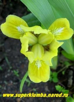 Ирис ЭЙПРИЛ ЭКСЕНТ (Iris April Accent) Миниатюрный карликовый , верхние лепестки золотистые, шижние горчично-желтые, белая бородка, высота 10 см. Ранний. НЕТ В ПРОДАЖЕ