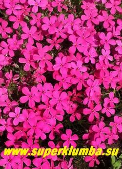 ФЛОКС ДУГЛАСА «Крэкэрджек» (Phlox douglasii «Crackerjack»)  цветы крупным планом. НОВИНКА! ЦЕНА 200-250 руб (1 дел)