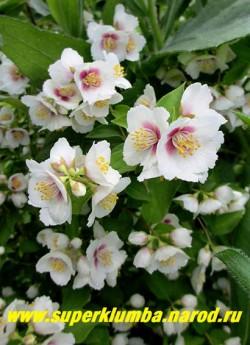 """ЧУБУШНИК ОБЫКНОВЕННЫЙ """"Белль Этуаль"""" (Philadelrhus pallidus """"Belle Etoile"""") Новый чубушник с двуцветными белыми с ярковишневой серединкой и выделяющимися тычинками цветами . Диаметр цветка 4см. Запах земляники! Высота 100-140см.  НЕТ В ПРОДАЖЕ"""