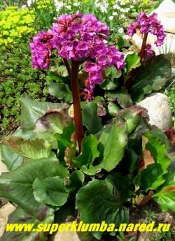 """БАДАН СЕРДЦЕЛИСТНЫЙ """"Пурпуреа мини"""" (Bergenia cordifolia """"Purpurea mini"""") - некрупный бадан с широкими листьями высотой 13-18см. Цветки пурпурно-красные, 2 см в диаметре на высоких малиновых цветоносах до 25см в длину . Цветет с мая 45-50 дней. НОВИНКА! ЦЕНА 250 руб"""