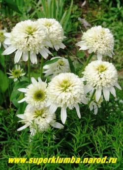 """кустик эхинацеи """"МЕРЕНГИ"""" (Echinacea """"Meringue"""") Непрерывно цветет с июля до сентября. НОВИНКА! ЦЕНА 400 руб (делёнка)"""