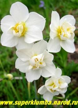 """Нарцисс """"ЧЕРФУЛНЕСС"""" (Narcissus """"Cheerfullness"""") многоцветковый махровый белый с желтыми выростами долей околоцветника. На одном стебле 3-5 цветов. ароматный, высота 35см, Долгоцветущий. Поздний. ЦЕНА 80 руб (1 шт)"""