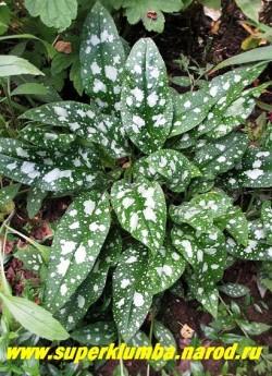 """МЕДУНИЦА САХАРНАЯ """"Хай Контраст"""" (Pulmonaria """"High Contrast"""") Сорт с широкими темнозелеными листьями, покрытыми крупными серебряными пятнами, которые часто сливаются воедино по мере взросления листа. НОВИНКА! ЦЕНА 190 руб (делёнка)"""