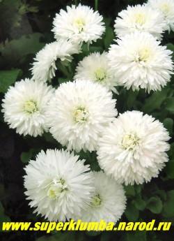 МАРГАРИТКА БЕЛАЯ МАХРОВАЯ (Bellis perennis) , пышные кустики высотой 10-15 см с крупными ( до 6 см в диаметре ) белыми густомахровыми цветами, цветет очень обильно с середины мая-июль, ЦЕНА 100 руб (1 шт)