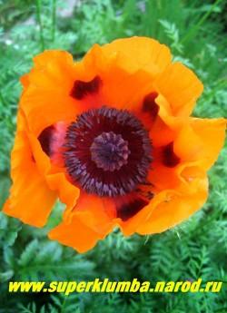 """МАК ПРИЦВЕТНИКОВЫЙ """"Оранжевый"""" (Papaver bracteatum). Цветы светло-оранжевые с блестящими лепестками , диаметром до 17 см, с небольшими черными пятнами у основания лепестков, цветоносы прочные, цветок, в отличие от других маков, держится до 3 дней, цветет в июне 20-25 дней. ЦЕНА 200 руб (1 шт)"""