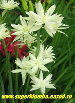 """КАМАССИЯ ЛЕЙХТЛИНА """"Семиплена"""" (Camassia leichtlinii semiplena) кремово- белая махровая, очень красивая и редкая камассия , высота до 70 см, цветет в июне махровыми цветами , собранными в растянутое до 40 см колосовидное соцветие, ЦЕНА 700 руб (1 шт)"""