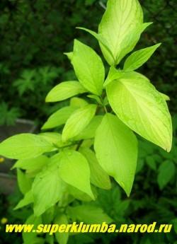 """ДЕРЕН БЕЛЫЙ """"АУРЕА"""" (Cornus alba ''Aurea'')  Кустарник высотой 1,5-2,0 м, с листьями приятного нежно-желтого цвета, которые растут на прямостоячих красноватых побегах. Цветки кремово-белые, иногда цветет второй раз осенью, и тогда на кусте одновременно висят и цветки, и голубовато-белые плоды. ЦЕНА 500 руб ( 5 летка)"""