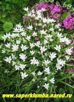 ПТИЦЕМЛЕЧНИК ЗОНТИЧНЫЙ (Ornithogalum umbellatum)  высота 20-25 см, цветет белыми цветами собранными в зонтичное соцветие в конце мая -июне, высота 15-20 см, ЦЕНА 150 руб (7 шт)