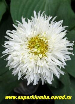 """Нивяник """"СНЕГУРКА"""" (Leucanthemum """"Snehurka"""") низкая , бордюрная махровая ромашка с узкими лепестками, диаметр 6-7 см, высота 25-35 см, длительное цветение с июля по сентябрь.  ЦЕНА 350 руб  (делёнка)"""