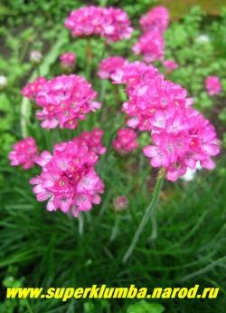 АРМЕРИЯ ПРИМОРСКАЯ (Armeria maritima) лилово- розовые цветы собраны с шаровидное соцветие диаметром 3-4 см, цветы могут использоваться в сухих букетах  Предпочитает солнечное место и легкую песчаную почву. ЦЕНА 200 руб. НЕТ НА ВЕСНУ