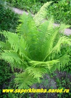 """СТРАУСНИК обыкновенный (Мatteuccia struthiopteris) летом он прекрасно смотрится в любых уголках сада, радуя своими мощными зелеными """"фонтанами"""" листьев, у взрослых экземпляров под воронкой из вай образуется стволик напоминающий ствол пальмы. ЦЕНА 150-250 руб (делёнка)"""