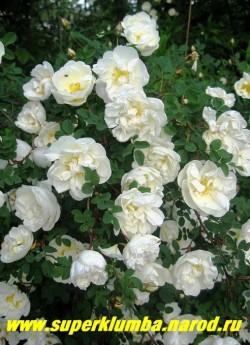 """РОЗА КОЛЮЧЕЙШАЯ или БЕДРЕНЦОВОЛИСТНАЯ """"Шлосс Зойтлиц"""" (Rosa spinosissima=pimpinellifolia) белая полумахровая, до 2 м в высоту , цветет в июне-июле очень обильно, с сильным ароматом, колючая ,прекрасно подходит для """"живой изгороди"""" , не накрывать на зиму. ЦЕНА 500 руб (3-4 летка)"""