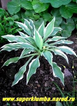 """Хоста ДАК СТАР (Hosta """"Dark Star"""") размер SM. Листья узкие стреловидные темно-голубые с кремово-белой каймой. Листва очень плотная, создает очень красивый фонтаноподобный куст., Элегантная и изысканная. Цветы лавандовые, ЦЕНА 200 руб (1 шт) или 500 руб (кустик: 3-4 шт)"""