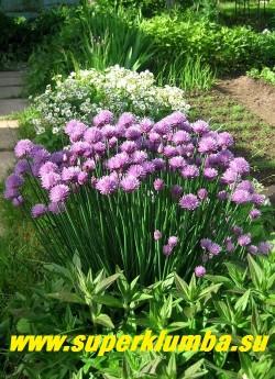 """ШНИТТ-ЛУК или ЛУК СКОРОДА подвид """"русский""""  (Allium schoenoprasum) наряду с пищевой ценностью является незаменимым декоративным растением и прекрасным медоносом. ЦЕНА 150 руб ( кустик: 5-7 лук)"""