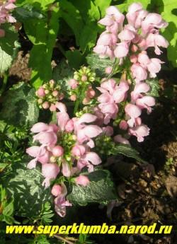 "на фото цветы ЯСНОТКИ КРАПЧАТОЙ ""Пинк Перл"" (Lamium maculatum ''Pink Pearl'') ЦЕНА 150-200 руб (1дел)."