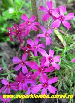 """ФЛОКС ШИЛОВИДНЫЙ """"Ред вингз"""" (Phlox subulata """"Red Wings"""") Вечнозелёные ковры толщиной 5-10 см, очень яркие   темно малиновые с пурпурным глазком цветы в форме звезды, диаметр цветка около 2 см, высота 10 см, цветет с   конца мая около 30 дней . ЦЕНА  250 руб  (1 кустик) НЕТ НА ВЕСНУ"""