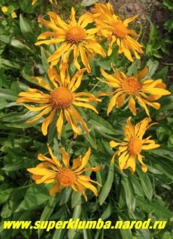 ГЕЛЕНИУМ ХУПА (Helenium hoopesii) летнецветущий гелениум, серебристая листва, ярко-желтые цветы диаметром 6-7см, высота до 70 см, цветет обильно июнь-июль. ЦЕНА 250 руб  (делёнка)