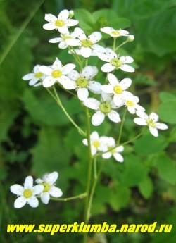 цветет КАМНЕЛОМКА МЕТЕЛЬЧАТАЯ (Saxifraga paniculata) цветы белые пятилепестковые с желтым центром на высоких до 35 см цветоносах.   ЦЕНА 150-200 руб ( 3-6 розеток)