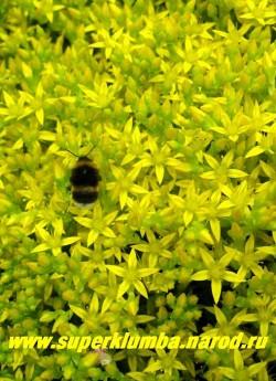 цветы ОЧИТКА ЕДКОГО (Sedum acre) крупным планом. Золотисто-желтые звездчатые цветы собраны в полузонтиковидные соцветия.  ЦЕНА 100-150 руб (1 деленка)