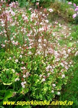 "на фото цветущий куст КАМНЕЛОМКИ ТЕНИСТОЙ ""Ауреапунктата"" (Saxifraga x urbium ''Aureopunctata''  в моем саду. ЦЕНА 200 руб (3 розетки)"