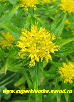 Соцветие ОЧИТКА ЖИВУЧЕГО МАКСИМОВИЧА (Sedum aizoon). Цветки золотисто-желтые, собраны в щитковидные соцветия до 6 см в диаметре. Неприхотливый очиток , могущий расти в тени и любящий обычную садовую почву и нормальное увлажнение. ЦЕНА 150 руб (1 деленка)