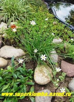 """СИСЮРИНХИЙ УЗКОЛИСТНЫЙ """"Белый"""" (Sisyrinchium angustifolium """"Album"""") редкая белоцветковая форма. Миниатюрный кустик с травовидными листьями высотой 10-12см , цветет в мае—июне белыми похожими на звездочки цветами по 2-6 в соцветии. НОВИНКА! ЦЕНА 200 руб  (кустик)"""