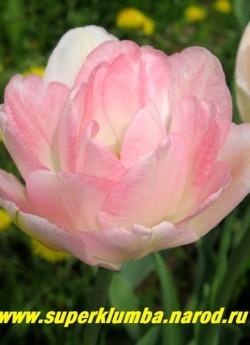 Тюльпан АНЖЕЛИКА (Tulipa Angelique) махровый ,романтический нежно-розово-кремовый цвет , с ароматом, отличная срезка, высота до 45 см, среднепоздний. ЦЕНА 80 руб (1 лук)