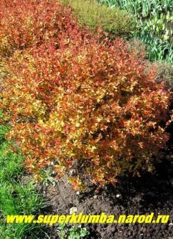 """СПИРЕЯ ЯПОНСКАЯ """"Голд флейм"""" (Spiraea japonica ''Gold Flame'') Плотный кустарник высотой до 0,8 м, с молодыми листьями оранжево-желтого цвета. Затем они становятся ярко-желтыми, потом желто-зелеными,осенью - медно-оранжевыми. Цветет с июля 45 дней розово-красными цветами . ЦЕНА 400 руб"""