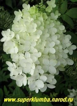 """ГОРТЕНЗИЯ МЕТЕЛЬЧАТАЯ """"Грандифлора"""" (Нydrangea paniculata """"Grandiflora"""") белые пирамидальные соцветия длиной до 30 см из кремово-белых цветов, розовещих со временем ! Высота до 1,3м, цветет июль-сентябрь. НЕТ  В ПРОДАЖЕ"""