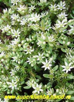 """ОЧИТОК ИСПАНСКИЙ """"Минус"""" (Sedum hispanicum var. minus) цветение. Цветет в середине лета мелкими соцветиями белых звездчатых цветков. ЦЕНА 150 руб (1деленка)"""