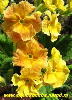"""Примула гибридная """"ХАМЕЛЕОН №2"""" на фото в начале роспуска, меняет цвет с лимонно-желтого на ярко-малиновый, крупноцветковая, высота до 15 см, цветет май-июнь, ЦЕНА 250 руб (делёнка)"""