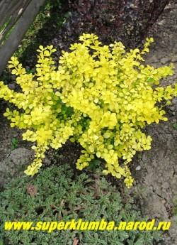 """БАРБАРИС ТУНБЕРГА """"Ауреа"""" (Berberis thunbergii """"Aurea"""") карликовый барбарис яркого лимонно-желтого цвета и высотой до 50 - 80 см. Обрезкой ему можно придать любую форму и высоту. На ярком солнце его нежные листочки могут подгорать, поэтому ему рекомендована светлая полутень. Осенью листва остается желтого цвета.  НЕТ В ПРОДАЖЕ"""