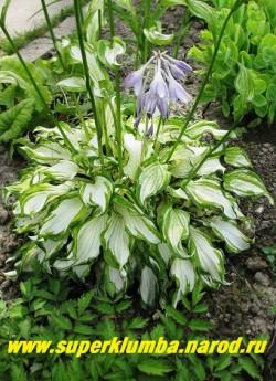 """Хоста КИВИ СПЭМИНТ (Hosta """"Kiwi spermint"""") Цветущий куст в июле. Цветы светло-лавандовые на высоких цветоносах. ЦЕНА 300 руб (1 шт)"""
