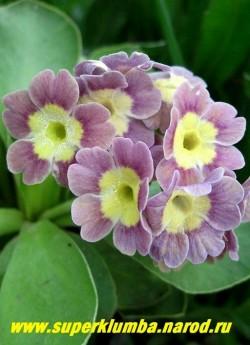 """Примула ушковая """"СИРЕНЕВАЯ"""" (Primula аuricula) сиреневая с лимонно-желтым центром, с ароматом, высота до 15 см, цветет май-июнь. НОВИНКА! ЦЕНА 250 руб (штука)"""