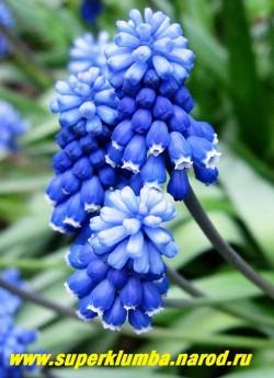 МУСКАРИ ОШЕ/ТУБЕРГЕНА  (Мuscari aucheri) Цветонос 10-15 см длиной несет двуцветное соцветие из синих с белыми зубчиками цветков внизу и небесно-голубых на верхушке. Цветет в мае 15-20 дней. НОВИНКА! ЦЕНА 100 руб (3 шт)