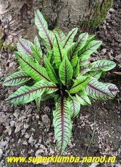 ЩАВЕЛЬ КРОВАВО-КРАСНЫЙ (Rumex sanguineus) компактные кустики с высокодекоративными зелеными листьями испещренными красными прожилками. Молодые листья можно использовать в пищу как шпинат. Высота 15-20см. Цветоносы рекомендуется срезать. ЦЕНА 150-200 руб  (1 делёнка)