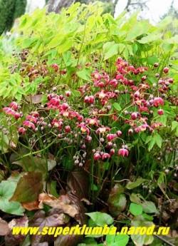 ГОРЯНКА КРАСНАЯ (Epimedium x rubrum) необыкновенно благородное растение с красивой молодой листвой и оригинальными красными с белой полосой внутри по лепестку цветами , цветет в мае-июне .Высота до 35-40 см, ЦЕНА 250-350 руб (делёнка)