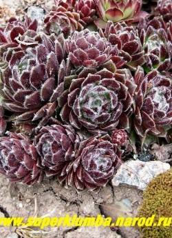 """МОЛОДИЛО №10 """"Рубрум"""" (Sempervivum arachnoideum Rubrum) вишневое паутинистое, темно-вишневые пушистые розетки диаметром 5-10 см, на фото весной. ЦЕНА 150 руб (2-3 роз)"""